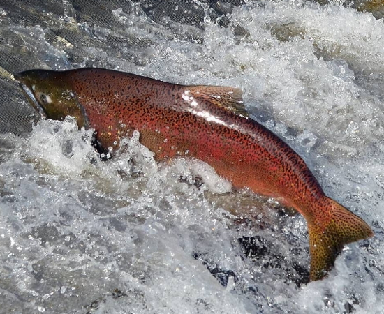 SVIAC, Fish, Advocacy, Salmon, Angling, Fishing, Halibut, Lingcod, Lobbying, Influence, Government, Chinook, Fraser, Victoria, British-Columbia, South-Vancouver-Island-Anglers-Coalition, breaking-news, updates, news-letter, news-bulletin, information, Sooke-Chinook-Enhancement-Initiative, Hatchery, Sea-Pen, Orca-Food-Security-Program